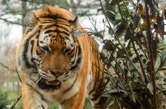 Крупный план снятый мужского тигра Стоковая Фотография RF