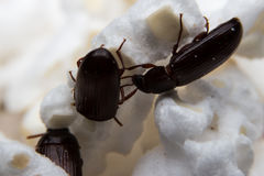 Крупный план снял жука навоза черного леса Стоковое Фото