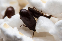 Крупный план снял жука навоза черного леса Стоковые Изображения