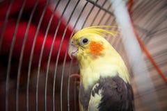 Крупный план снял красивого желтого попугая сидя в клетке Стоковое фото RF