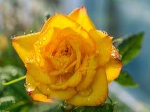 Крупный план снял падений богатых желтых розовой воды Стоковое Изображение RF