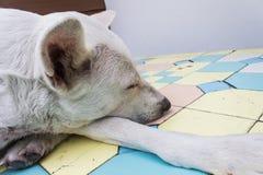 Крупный план собаки спать тайский Стоковая Фотография