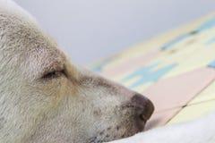 Крупный план собаки тайский Стоковое фото RF