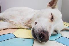Крупный план собаки тайский Стоковые Фото