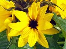 Крупный план солнцецвета Стоковые Изображения RF