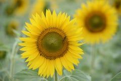 Крупный план солнцецвета Стоковое Изображение