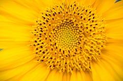 Крупный план солнцецвета Стоковые Фото
