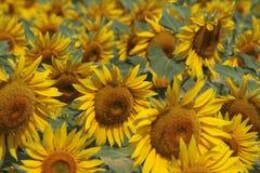 Крупный план солнцецветов Стоковые Фотографии RF