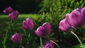 Крупный план сползая съемку розовые тюльпаны сток-видео