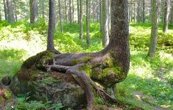Крупный план ствола дерева с корнями и расшивой Стоковые Изображения