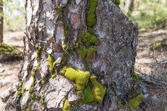 Крупный план ствола дерева с мхом Стоковая Фотография RF
