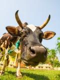 Крупный план стороны коровы смешной, Цейлон стоковые изображения