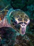 Крупный план стороны морской черепахи hawksbill Стоковые Изображения