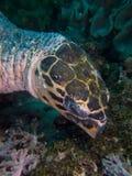 Крупный план стороны морской черепахи hawksbill Стоковое Изображение
