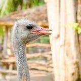 Крупный план страуса головной стоковое фото