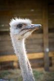 Крупный план страуса головной Стоковые Изображения