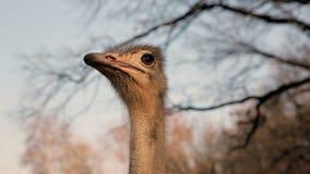 Крупный план страуса сток-видео