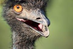Крупный план страуса Стоковые Фотографии RF