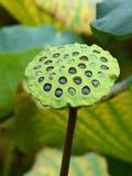 Крупный план стручка семени лотоса nucifera nelumbo с гайками видимыми внутри отверстий Стоковая Фотография