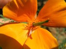 Крупный план съемки разнообразий Eschscholzia цветка Стоковые Изображения RF