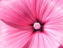 Крупный план съемки разнообразий Lavatera цветка Стоковые Фотографии RF