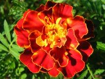 Крупный план съемки разнообразий Tagetes цветка Стоковая Фотография RF