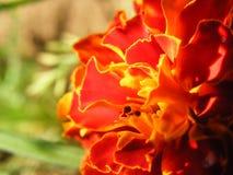 Крупный план съемки разнообразий Tagetes цветка Стоковые Изображения RF