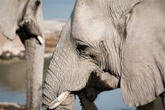 Крупный план слона Стоковое Изображение RF