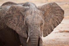 Крупный план слона Bull стоковые изображения rf