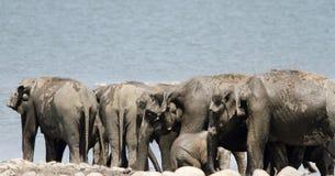 Крупный план табуна слонов приближает к реке Ganga Ram, Джиму Corbett стоковая фотография rf