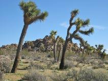 Крупный план 2 танцуя деревьев Иешуа в ландшафте пустыни с старыми горными породами в предпосылке Стоковое Фото