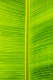 Крупный план текстуры лист банана, зеленый и свежий, в парке Стоковое Изображение RF