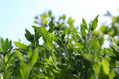 Крупный план травы леса в вертепе лета солнечном Текстура травы для предпосылки Крупный план фото листьев Стоковое Изображение