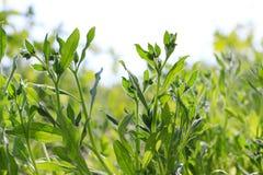 Крупный план травы леса в вертепе лета солнечном Текстура травы Стоковая Фотография RF