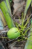 Крупный план тропического кокоса стоковые фотографии rf
