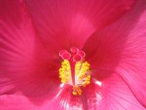 Крупный план тычинки на гигантском розовом гибискусе стоковое фото rf