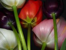 Крупный план тюльпанов Стоковое Изображение RF