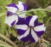 Крупный план фиолетового и белого цветка pansy Стоковые Фотографии RF