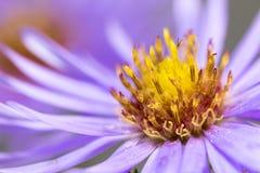 Крупный план фиолетовых астры и тычинки Стоковое Фото