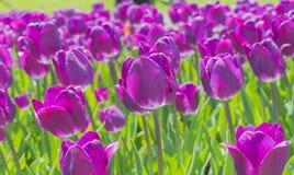 Крупный план фиолетовых тюльпанов стоковые изображения rf