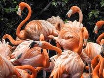 Крупный план фламинго в Бермудских Островах Стоковое фото RF