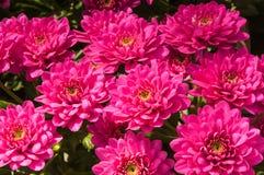 Крупный план хризантем сирени цветя в питомнике цветка Стоковое Изображение RF