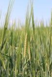 Крупный план хлопьев пшеницы Стоковая Фотография RF