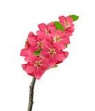 Крупный план цветений Яблока изолированных на белизне Стоковое Фото