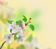 Крупный план цветений Яблока над предпосылкой природы Стоковые Фото