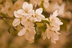 крупный план цветений яблока Стоковые Фотографии RF