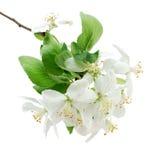 крупный план цветений яблока Стоковая Фотография RF