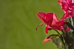 Крупный план цветения кактуса рождества Стоковое Фото