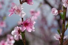 Крупный план цветения персика на запачканной растительности Стоковые Фотографии RF