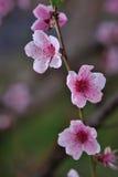 Крупный план цветения персика на запачканной растительности Стоковое Изображение